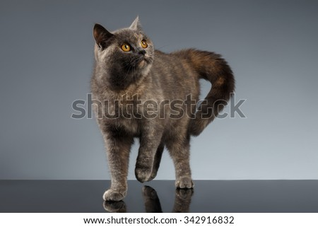 Scottish Cat Stands on Gray Mirror Background - stock photo