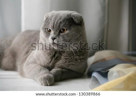Scottish Fold Cat. - stock photo