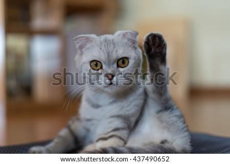 Scottish Fold cat doing a funny yoga pose - stock photo