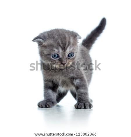 Scottish fold cat kitten isolated on white - stock photo
