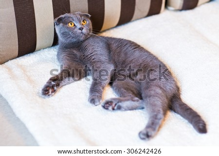 Scottish fold cat lazily lying on the sofa - stock photo