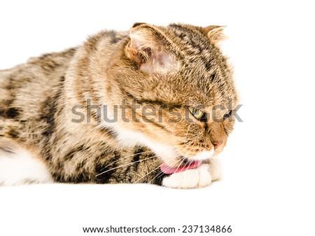 Scottish fold cat licks his paw isolated on white background - stock photo