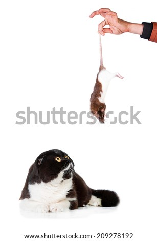 Scottish fold cat looking at the rat - stock photo