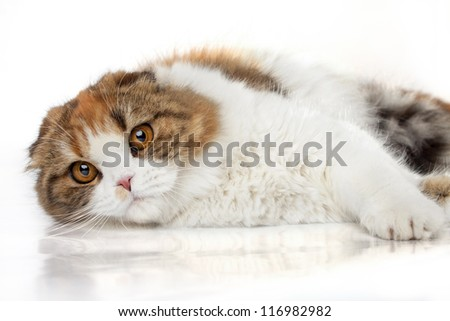 Scottish fold cat lying on a white background. - stock photo