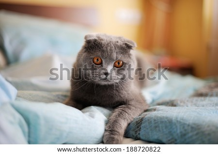 Scottish Fold Cat lying on sofa in room - stock photo