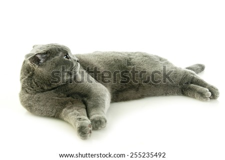Scottish fold cat lying on the floor and looking back and looking away - stock photo