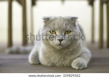 Scottish Fold cat, 6 months old - stock photo