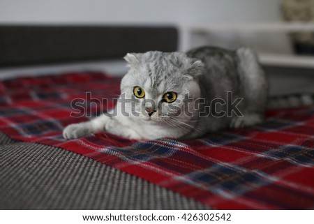Scottish Fold cat playing on the couch with red blanket. Selective focus