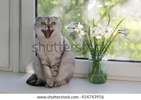 Scottish Fold cat sitting and yawning next to the spring flowers on the windowsill. Selective focus - stock photo