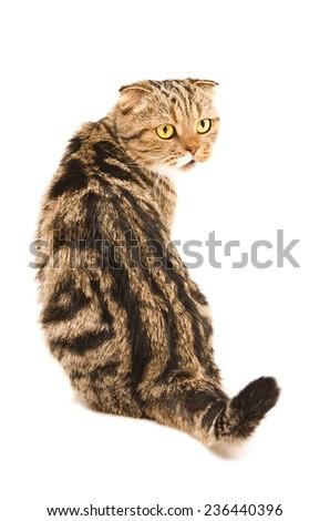 Scottish Fold cat sitting back isolated on white background  - stock photo