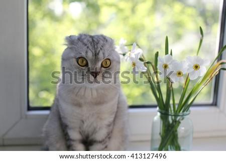 Scottish Fold cat sitting near spring flowers - daffodils. Selective focus - stock photo