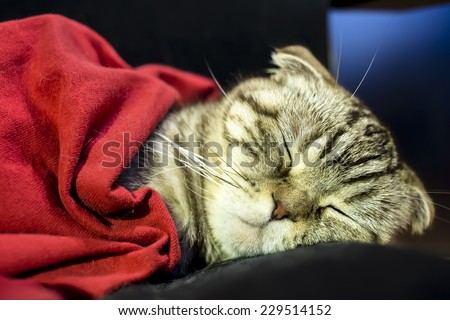 Scottish fold cat sleeping sweetly like a man under the red blanket - stock photo
