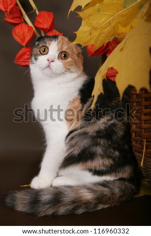 Scottish fold cat with autumn leaves - stock photo