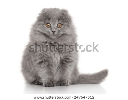 Scottish fold Highland fold kitten. Portrait on white background - stock photo