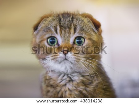 Scottish Fold kitten close-up. - stock photo