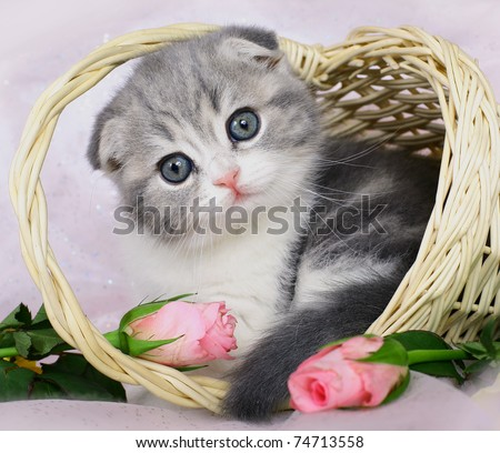 Scottish Fold kitten in a basket of roses. - stock photo