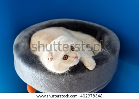 Scottish Fold kitten lying on the couch - stock photo