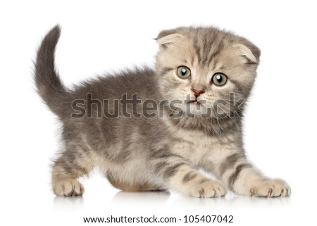 Scottish Fold kitten play on white background - stock photo