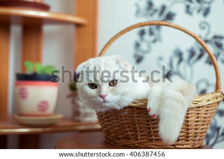 Scottish Fold kitten sits in a wicker basket in the room - stock photo