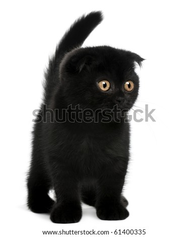 Scottish Fold Kitten, 11 weeks old, standing in front of white background - stock photo