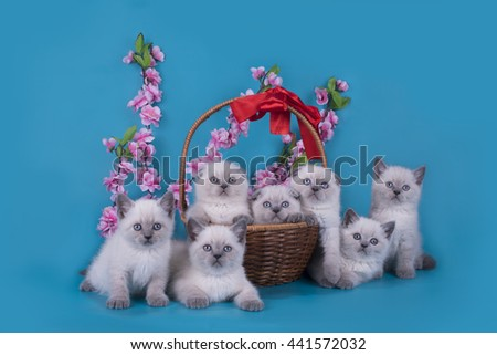 Scottish Fold kittens in a basket on a blue background - stock photo