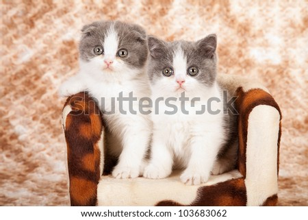 Scottish Fold kittens on miniature cowhide chair on brown mottled fake fur background