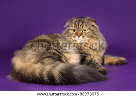 Scottish fold on purple background - stock photo
