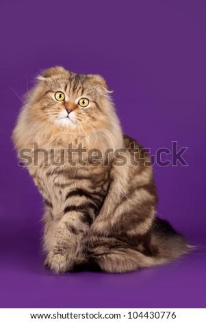 Scottish fold on violet background - stock photo