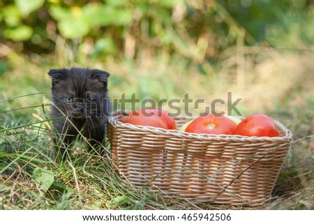 scottish fold young kitten and tomatos