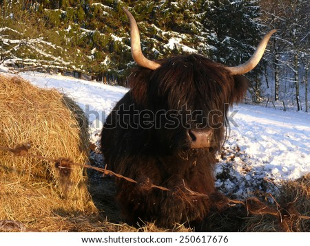 scottish highland cattle - stock photo