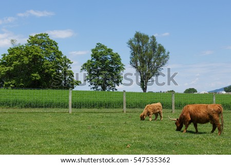 Scottish Highland cattle grazing in a lush meadow