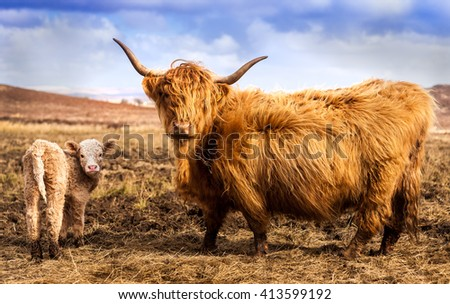 Scottish Highland Cow and Calf looking at the camera - stock photo