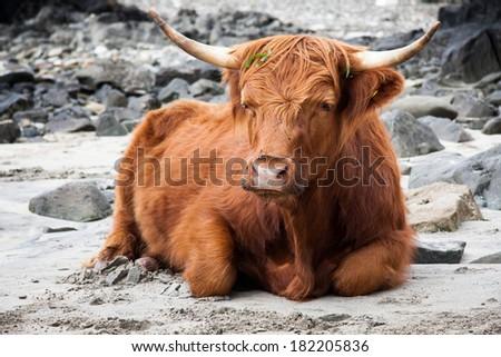 Scottish Highland cow, Great Britain, UK - stock photo
