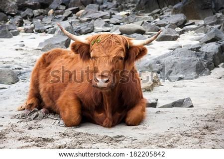 Scottish Highland cow, Scotland, Great Britain - stock photo