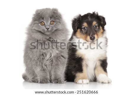 Scottish Highland fold kitten and Shetland sheepdog puppy on a white background - stock photo