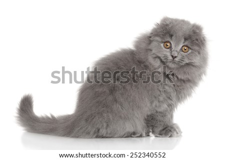 Scottish Highland fold kitten. Portrait on white background - stock photo
