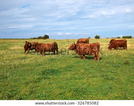 Scottish highlander ox cows grazing out in nature - stock photo