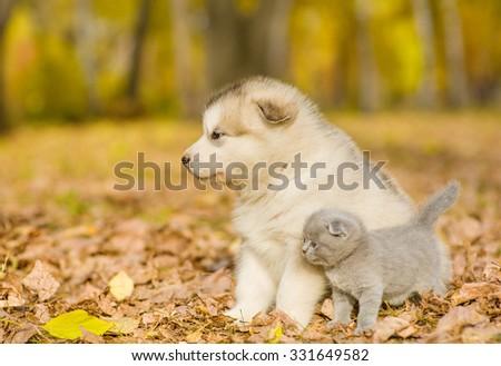 Scottish kitten and alaskan malamute puppy looking away in autumn park - stock photo