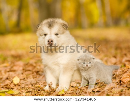 Scottish kitten and alaskan malamute puppy standing together in autumn park - stock photo
