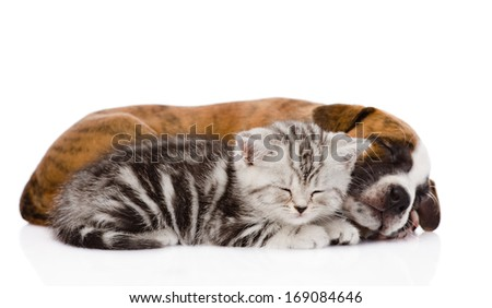 Scottish kitten and puppy sleeping together. isolated on white background - stock photo