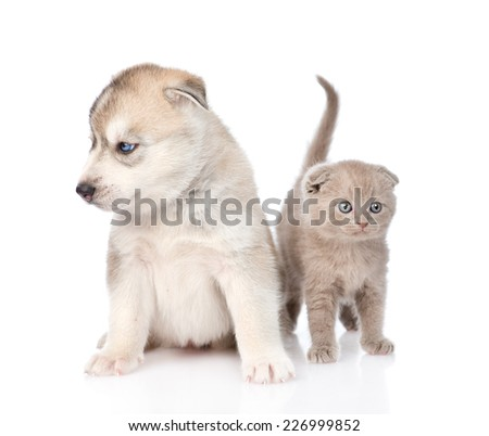 scottish kitten and Siberian Husky puppy sitting together. isolated on white background - stock photo