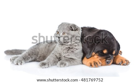 Scottish kitten and sleeping rottweiler puppy lying together. Isolated on white background