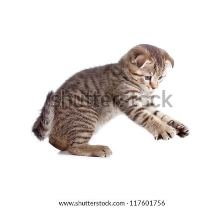 Scottish kitten catching something isolated - stock photo