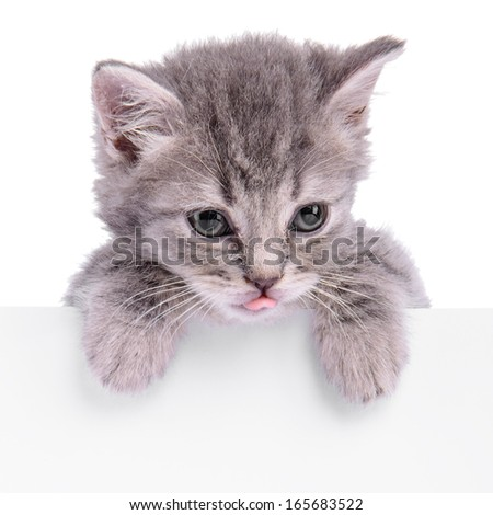 Scottish kitten holding a billboard. animal isolated on a white background - stock photo