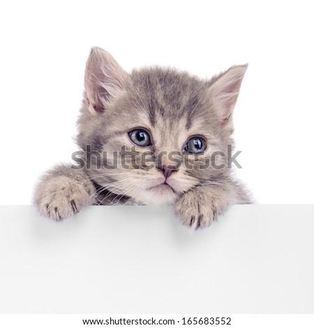 Scottish kitten holding a billboard. animal isolated on a white background - stock photo
