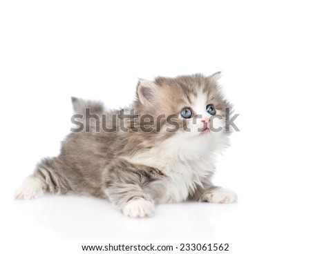 Scottish kitten looking away and up. isolated on white background