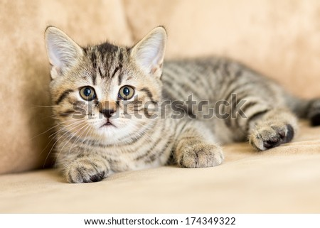 Scottish kitten lying on the couch - stock photo