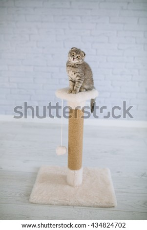Scottish little cat playing on scratching posts - stock photo