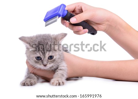 Scottish little kitten grooming comb. isolated on white background - stock photo