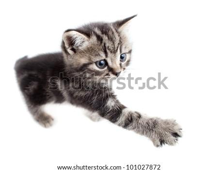 Scottish or british gray kitten gives paw - stock photo